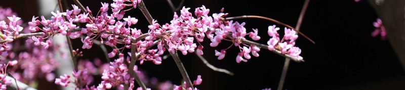 Image depicts pink flowers on a dark background