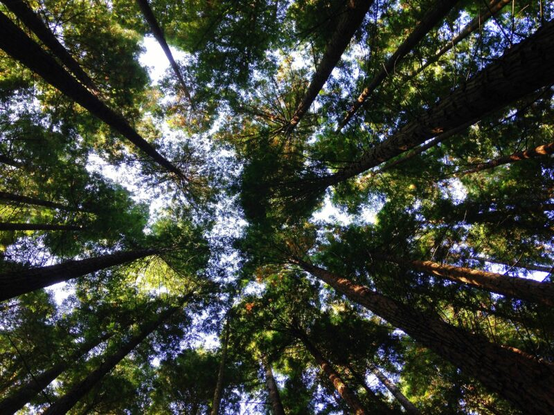 Image depicts a grove of redwood trees from directly below
