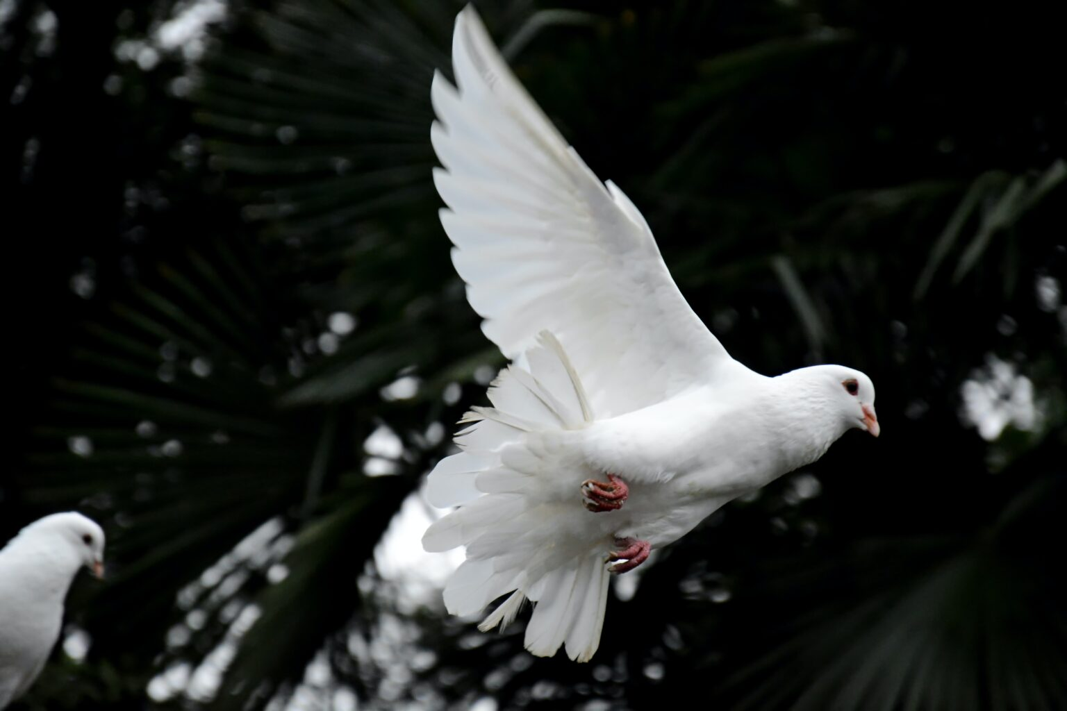 Photograph of a white dove in flight against a dark green background of foliage