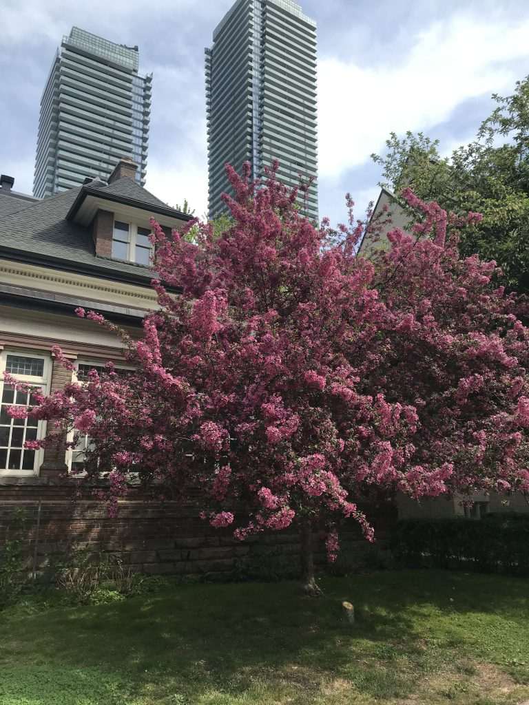 Portrait photograph of a vibrant blooming pink tree outside the windows of Founders House, with two tall apartment buildings and a blue sky in the background.